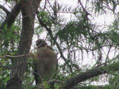 A hawk in cedar tree.....