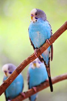 Pretty Parakeets/Budgies