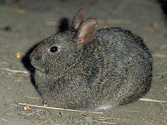 Volcano Rabbit | Volcano Rabbit-Endangered animals list-Our endangered animals | KONICA ...