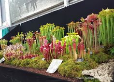 A super display of carnivorous plants, from specialist growers Hampshire Carnivorous Plants, at The RHS Chelsea Flower Show 2016.
