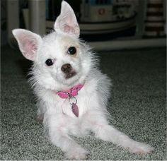 Chi-Poo  (Wapoo) (Chipoo) (Chi Poo) (Poochi) (Poo-Chi) (Choodle)   Chihuahua / Poodle Hybrid Dogs