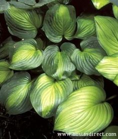 """Hosta Avocado - another beauty like Guacamole that tolerates sun, grows fast to 24"""".   More upright than Holy Mole."""
