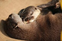 Maggie loves otters Otters Cute, Baby Otters, Otters Funny, Baby Animals, Funny Animals, Otter Love, Cute Kawaii Animals, Funny Animal Photos, Sea Otter