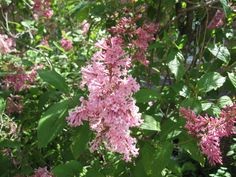 Hybrid Lilacs | french hybrid lilacs french hybrid lilacs