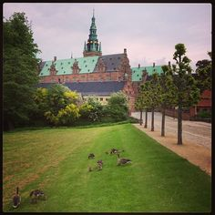 dnm_frederiksborg Geese and their goslings strutting in front of the castle. #dnm #frederiksborg #denmark #castle #tourist #sightseeing