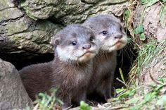 "angel-kiyoss: "" Otter Pups!! """