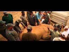 Im November 2011 organisierte der WWF mit neuer Technik den spektakulären Umzug für 19 Spitzmaulnashörner per Helikopter, um um die Nashorn-Population in Südafrika zu vergrößern und die Rhinozerosse vor Wilderern zu schützen. http://www.wwf.de/themen-projekte/bedrohte-tier-und-pflanzenarten/nashoerner/umsiedlung/