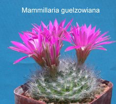 """#5535.2 - 2¾""""pot - $5.00 - & - #5535.3 - 3¼""""pot - $7.00 - low soft light green body with long tubercles, dense white hairlike spines and hooked central spines, very large bright pink flowers"""