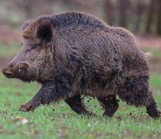 Wild Boar Hunting, Hog Hunting, Animals Of The World, Animals And Pets, Cute Animals, Animals Amazing, Animals Beautiful, Cute Baby Pigs, Pig Breeds
