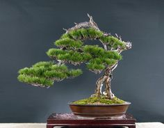 Image from http://bonsaibark.com/wp-content/uploads/taiwan4.jpg.