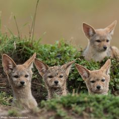 Sometimes jackal pups will stay with their parents and help raise their younger siblings. Most pup deaths occur during the first 14 weeks of life, so the presence of helpers increases the survival rate.