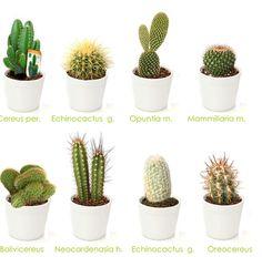 Tipos De Cactus House Plants Types of cactus , cactus art, cactus draw Cactus Terrarium, Cactus House Plants, Garden Cactus, Mini Cactus, Cactus Flower, Cactus Art, Cactus Drawing, Cactus Names, Succulent Names