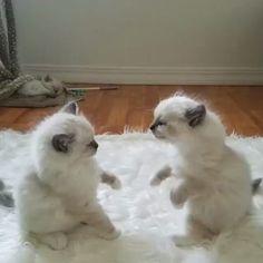 Kitten wrestling.  .  FOLLOW @insta_catskittens ♀️  FOLLOW @insta_catskittens   TAG YOUR FRIENDS  . #cat #cats #kitty #kitties #ilovecats #catlover #instacat #instakitty #catlife #catlove #catstagram #catoftheday #meow #cutecat #cutecats #kittycat #lovecats #ネコ#고양이 #gatto #persiancat #blackcat #orangecat #catsofinstagram #cute . Credit to @flowerbabyragdolls