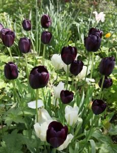 Queen of the Night with White Triumphator Tulips.