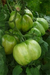 Low Calorie Vegetables, Variety Of Fruits, Tomato Garden, Gardening, Decor, Vegetable Gardening, Plant, Lawn And Garden, Tomatoes