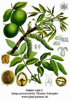 PERMAFORÊT  Blog pédagogique pour les forêt-jardins. Régénération des biotopes sauvages des fruits, des légumes et des champignons comestibles.