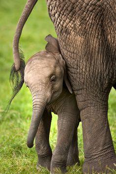 An elephant calf often sucks its trunk for comfort