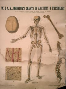 W. & A. K. Johnston's Charts of Anatomy and Physiology