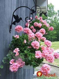 Pink geranium in hanging baskets Hanging Flower Baskets, Hanging Plants, Pink Garden, Garden Pots, Garden Ideas, Container Plants, Container Gardening, Succulent Containers, Container Flowers
