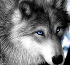 Silver Wolf with Blue Eyes | Wolf Pack RP(With Pics)