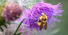 Launch a Native Bees Conservation Day in Your State