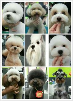 82 best Japanese and Korean style Dog Grooming Styles, Grooming Shop, Dog Grooming Tips, Poodle Grooming, Cortes Poodle, Pet Shop, Asian Dogs, Creative Grooming, Dog Haircuts