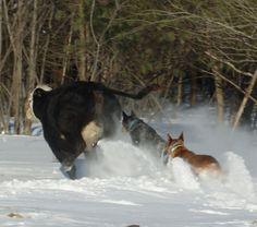 AKC Australian Cattle Dogs oooh.. somebody's in trouble here....