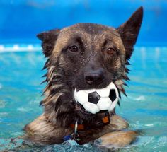 Belgian Malinois in the pool. His name is Blitz and he is ball obsessed. Love this pic Malinois Belga, Pastor Belga Malinois, Berger Malinois, Belgian Malinois Dog, Belgian Shepherd, German Shepherd Dogs, German Shepherds, Malinois Shepherd, Belgium Malinois