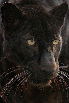 beautiful panther