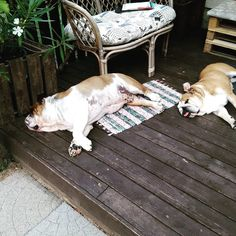 English Bulldogs, Animals, Animales, Animaux, Animal Memes, Animal, Animais, Dieren