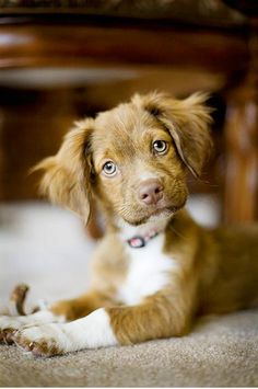 Adorable cute brown puppy sitting. . click on pic for more