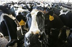 Insects Make the Perfect Food—for Cows | TakePart
