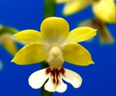 Calanthe sp. - Flickr - Photo Sharing!