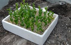 Hvis du allerede har buksbom i haven, kan du selv lave flere. Læs, hvordan du formerer buksbom her.
