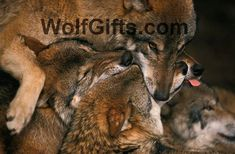 Wolf pack biting each others muzzles by Ulrich Kunst And Bettina Scheidulin Wolf Photos, Wolf Pictures, Beautiful Creatures, Animals Beautiful, Chief Dan George, Sales Image, Buy Art Online, Panther, Kangaroo