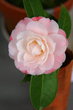 Camellia japonica 'Queen Diana' AKA 'Diana's Charm'