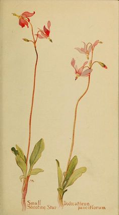 Small Shooting Star. Plate from 'Field Book of Western Wild Flowers' (1915) by Margaret Armstrong.