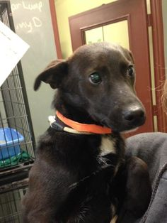 Timmy is an adoptable Patterdale Terrier (Fell Terrier) searching for a forever family near Newburgh, IN. Use Petfinder to find adoptable pets in your area.