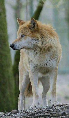 Beautiful Wolf.