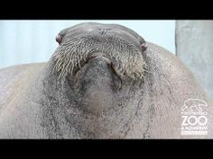 OMG this walrus can whistle!!