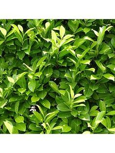 Laurel Hedging Plants 9cm Pot If you need fast-growing, easy to maintain, and evergreen hedging, look no further than a classic Laurel Hedge. Best used to produce hedges from 1m to 3m tall and quickly forming a dense canopy of shiny green leaves, Laurel grows at 30-40cm (1ft) per year, but will not take over. Easy to grow and maintain, just trim to shape and height twice a year. Suitable for planting all year round, as it is pot grown, for the quickest and most successful establishment… Hedging Plants, Garden Plants, Shrubs, Laurel Hedge, All Year Round, Fast Growing, Hedges, One Color, Green Leaves