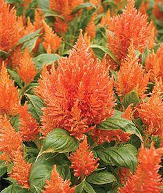 Pretty Orange Flowers, Tropical Flowers, Hawaiian Flower, Buy Orange Flowers