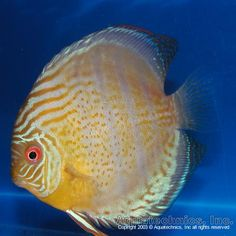 "Wild Discus .Red Spotted Green Symphysodon aequefasciata aequefasciata ""Rio Nanay Red Spotted Green."