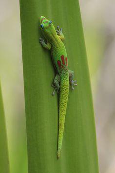 Madagascar Gold Dust Day Gecko in Oahu ©KimReese