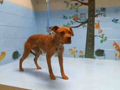 CAME IN WITH A467385  NOW PAST DUE MINDYS SAFETY DATE OF NOV 3RD - AT RISK TO BE PUT DOWN W/O NOTICE   PASSED TEMP TEST  MINDY #A467384 (Moreno Valley CA) Female red Pit Bull Terrier. The shelter thinks I am about 1 year and 6 months old. I have been at the shelter since Oct 05 2016 and I may be available for adoption on Oct 12 2016 at 5:22PM  http://ift.tt/2ePMjnr  Moreno Valley Animal Shelter at (951) 413-3790 Ask for information about animal ID number A467384  #adoptdontshop…