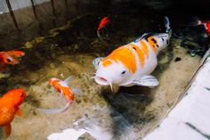 Fat Koi by Hoang La on 500px