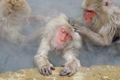 Japanese Snow Monkeys bathing in hot springs