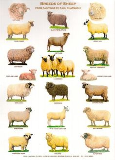 source and artist: Paul Chapman Old Bell Farm Billingford Norfolk UK. breeds of sheep :) Pig Breeds, Sheep Breeds, Sheep Farm, Sheep And Lamb, Animals And Pets, Cute Animals, Raising Farm Animals, Livestock Judging, Animal Science