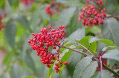 Coastal Maine Botanical Gardens - American Red Elder