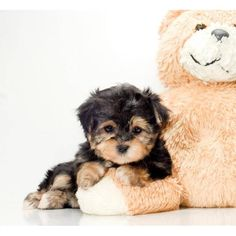 "i want a morkie. dang it. From your friends at phoenix dog in home dog training""k9katelynn"" see more about Scottsdale dog training at k9katelynn.com! Pinterest with over 19,000 followers! Google plus with over 125,000 views! You tube with over 400 videos and 50,000 views!! Serving the valley for 11 plus years"
